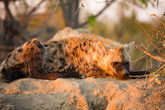 Early morning hyena lookout (Steve Glasgow) Tags: southafrica tandatula za2016