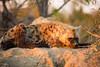 Early morning hyena lookout (Steve Glasgow) Tags: southafrica tandatula za2016
