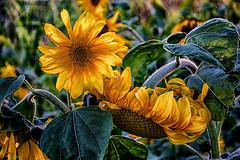 Sunflowers in the evening sun (scorpion (13)) Tags: sunflower petals photoart color field walk nature plants evening sun summer sundown