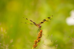 7K8A2136 (rpealit) Tags: scenery wildlife nature camp olympia stokes state forest halloween pennant dragonfly
