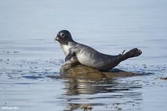 Juvenile Seal - MJSFerrier DSC_3609 (MJSFerrier) Tags: seal sunbathing scotland southayrshire mjsferrier