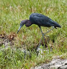 Jul 29 20166113 (Lake Worth) Tags: animal animals bird birdwatcher birds canonef500mmf4lisiiusm canoneos1dxmarkii everglades feathers florida nature outdoor southflorida waterbirds wetlands wildlife wing