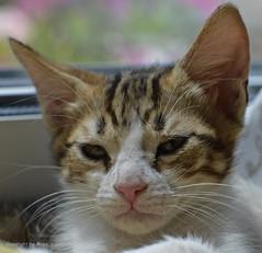 Bist du fertig? * Have you finished? * Ha terminado? * (Makro/Macro)    . _DSC4595-001 (maya.walti HK) Tags: 2016 250816 alibaba animales animals cachorros cats copyrightbymayawaltihk flickr gatos katzen katzenbabys kittens makro nikond3200 tiere