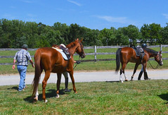 2016-08-28 (16) Miss Nicole arrives at 'horse show' (JLeeFleenor) Tags: photos photography md maryland horseshow gambrills horses thoroughbreds equine equestrian cheval cavalo cavallo cavall caballo pferd paard perd hevonen hest hestur cal kon konj beygir capall ceffyl cuddy yarraman faras alogo soos kuda uma pfeerd koin    hst     ko