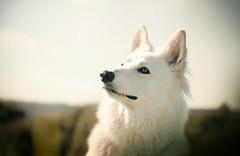 White Wolf Len (aurorapesonen) Tags: whitedog dog summer sweet beautiful flickr bokeh canon doggy hund dogphotography animalphotography animal petphotography pet dogmodel dogportrait