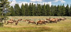 No Bull - Explore (Ron Drew) Tags: nikon d800 yellowstonenationalpark haydenvalley elk cows calves field trees wildlife herd wy park usa nationalpark