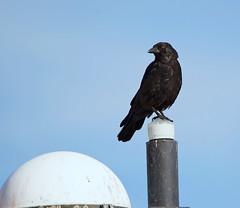 Carrion Crow ( Corvus corone ) - Neighbourhood Watch !! (Mid Glam Sam1) Tags: bird crow corvid corvidae wales urban carrioncrow corvuscorone tamron