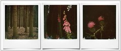 Reserve des Hautes Fagnes Eifel (@necDOT) Tags: triptyque hautesfagnes jalhay eifel polaroid slr680 color600 impossibleproject digitale digitalis chardon