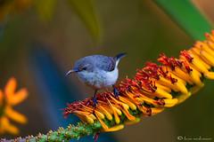 White-bellied Sunbird (f) (leendert3) Tags: whitebelliedsonbirdf ngc npc ~themagicofcolours~x