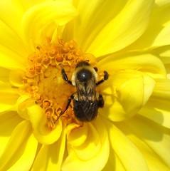 hugging the pollen (kenman2010) Tags: bee hugging pollen yellow flower