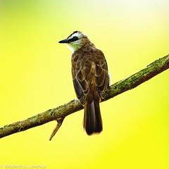 Yellow-vented Bulbul (Modestus Lorence) Tags: singapore bulbul yellowvented birds outdoor