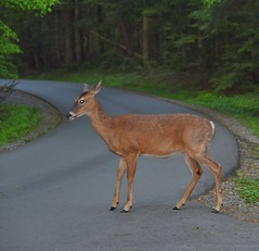 Out for an evening stroll (stevelamb007) Tags: whitetail deer road evening woods cadescove greatsmokymountainsnationalpark tennessee stevelamb nikon d7200