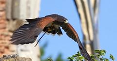 Harris Hawk (Doyleecart Photography) Tags: harrishawk birdofprey bishopspalace wells somerset westcountry flight canon7dmkii doyleecart