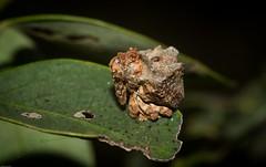 debris-mimic weevil : Sigastus (dustaway) Tags: arthropoda insecta coleoptera curculionidae beetle weevil australianinsects tullera northernrivers nsw nature australia snoutbeetles weevilbeetle
