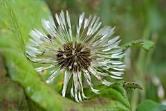 eingebettet (DianaFE) Tags: dianafe blte pflanze blume wildkraut wiesenblume makro tiefenschrfe schrfentiefe