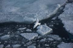 DSC_6841.jpg (Elvar H) Tags: arcticocean helmerhansen pagophilaeburnea siarctic ice iceedge ismåke ísmáfur