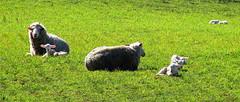 SPRING has SPRUNG (elliott.lani) Tags: farmyard farmyardanimals lamb lambs sheep spring springlambs rural green landscape