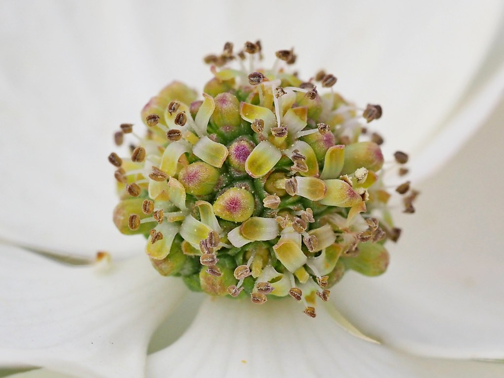 The Worlds Best Photos Of Cornus And Macro Flickr Hive Mind