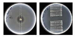 inhibition zone streaking (Ian Riley [on the right side of the fence]) Tags: australia sa southaustralia adelaide urrbrae waite campus bacteriology rhizobium petri dish agar plates inhibition zone soft overlay comb sampling steaking science research indirect lighting