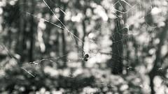 labyrinth orb weaver (amy buxton) Tags: amybuxton arachnid fall forestpark fujifilmx100s labyrinthorbweaver natural nature spider stlouis web metepeiralabyrinthea
