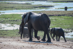 Elephants in Chobe National Park, Botswana (Demos N.) Tags: botswana safari elephant elephants wildlife elefante