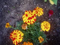 P1010005 (ianharrywebb) Tags: edinburgh iansdigitalphotos flowers flower royalbotanicgardens