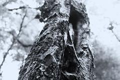 Tronco.jpg (Giorgio&Dot) Tags: mv monteverit tronco
