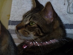 Mara ! (Mara 1) Tags: tabby stripes pink collar black grey fawn coat fur indoors kitten