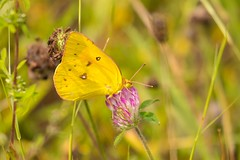 7K8A9892 (rpealit) Tags: scenery wildlife nature mahlon dickerson reservation snow bowl jefferson twp orange sulphur butterfly