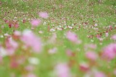 cosmos field (peaceful-jp-scenery) Tags: jibuzaka cosmos flower highlands autumn        sony 99 a99 slta99v amount sal70300g2 70300mmf4556gssmii
