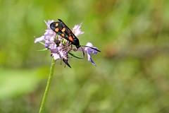 Zygaena (luporosso) Tags: natura nature naturaleza naturalmente nikond300s nikon farfalla farfalle falena mariposa papillon borboleta zygaena insect insetto bokeh abigfave