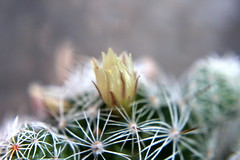 flor en cactus (Mari Tutu) Tags: flor flores naturaleza polen abejas primavera calor cactus florecer flore plantas rosa malvon brote vida