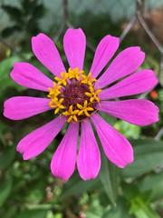 (dhieba22) Tags: nature beckyard zinnia flowers iphone iphonecamera iphonephotography iphone7plus dhieba22