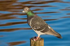 Pigeon (JOAO DE BARROS) Tags: barros joo pigeon animal bird