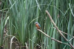Kingfisher (male) (ttbeep) Tags: kingfisher canoneos700d yorkshire leeds coolweather yorkshirewildlifetrust adeldamnaturereserve alongwait alcedinidae