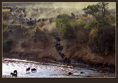 Crossing the Mara River! (Best in Original) (Rainbirder) Tags: masaimara marariver bluewildebeest connochaetestaurinus