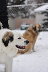 Yogi and Dakota (background) (Jpnowak) Tags: greatpyrenees largedog