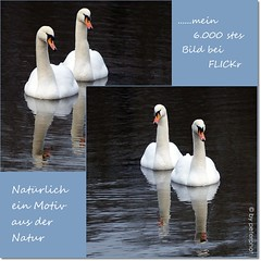 6.000 Bilder in 4 Jahren (peterphot) Tags: collage tiere waterbirds schwne flickrbilder wasserwild 6000bilder