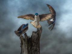 Tree swallows (Phiddy1) Tags: ngc npc digitalcameraclub specanimal tatot bestcapturesaoi magicunicornverybest magicunicornmasterpiece onlythebestofnature galleryoffantasticshots kurtpeiserexcellence