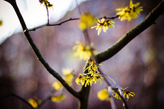 Yay! Spring is coming! (ShiningBlowball) Tags: winter tree yellow spring blossoms january 50mm18 canoneos600d