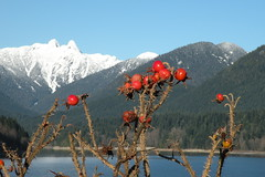 The Lions and Rosehips (Brian Chase Photography) Tags: canada bc britishcolumbia northshore northvancouver thorns rosehips thelions clevelanddam