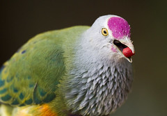 Rose-Crowned Fruit Dove with food (San Diego Shooter) Tags: bird birds sandiego dove sandiegozoo rosecrownedfruitdove colorfulbird