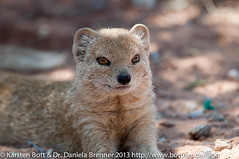 """Yellow Mongoose • <a style=""""font-size:0.8em;"""" href=""""http://www.flickr.com/photos/56545707@N05/8394436328/"""" target=""""_blank"""">View on Flickr</a>"""