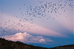 Bat flight at Carlsbad Caverns with anti-crespucular rays