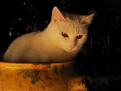 BIANCA (viaggiaresiii) Tags: light bokeh dolce luci bianca natale luce gattina micia gatta ciccia baffi monella amichetta tagviaggia