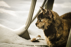 Curiosity Chilled the Cat (Truebritgal) Tags: ohio pet brown snow black cold cat lens nikon feline snowy seat cream kitty tortoiseshell domestic chilly tortie nikkor kittycat surveying 18200mm wintersville d7000 truebritgal