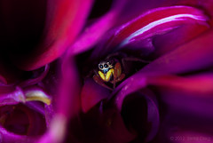 """Infancy"" Heliophanus auratus (Serkiz Oleg) Tags: pink light portrait flower macro cute art nature colors beauty face yellow closeup fairytale lens prime spider eyes photographer bright flash small fine picture ukraine future saturation melancholy fangs arachnids sorrow softbox jumpingspider eightlegs entomology arachnology arthropod macrophotography infancy extensiontube palps salticidae macroworld primelens chernivtsi contrastcolours spiderandflower nikond80 sigma150mmf28apomacro heliophanusauratus automaticextensiontubeset olegserkiz serkizoleg"