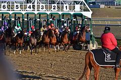 2013-01-04 (129) r8 and they're off (JLeeFleenor) Tags: horses caballo cheval photography photos uma cal jockey horseracing jinete cavallo cavalo pferd equestrian kin kuda alogo equine hest thoroughbreds soos hevonen cuddy paard cavall kon koin laurelpark  hast jokey fantino hst ceffyl  jquei  ko faras hestur  perd ngi thoroughbredracing  konj    capall beygir yarraman dokej rennreiter  pfeerd laurelracecourse   okej kilparatsastaja jocheu