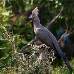 #33 Gray Lourie (bsmity13) Tags: bird animal southafrica aves turaco 365 np za avian krugernationalpark graygoawaybird corythaixoidesconcolor greylourie greygoawaybird graylourie