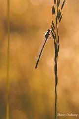 1 (photosenvrac) Tags: light macro field grass insect photo dragonfly lumire champ insecte herbe libellule bluet agrion thierryduchamp